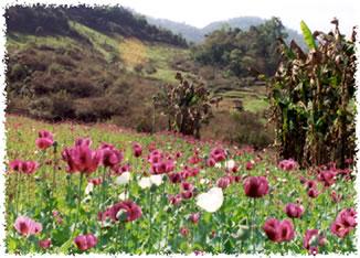 A field of opium poppies in Burma