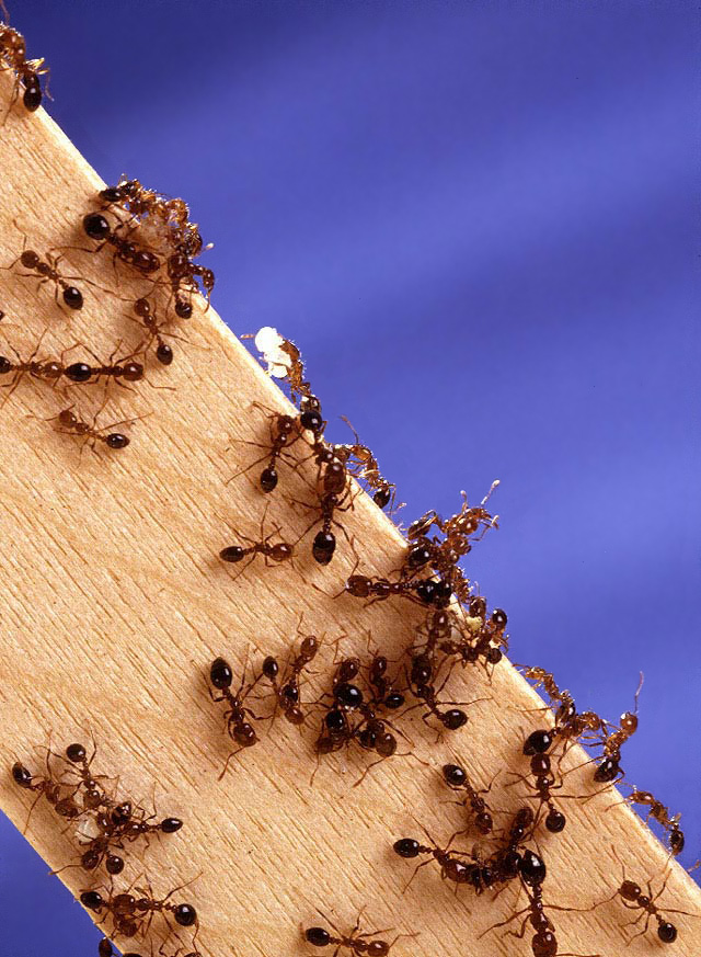 Fire Ant Information. Got Fire Ants?.