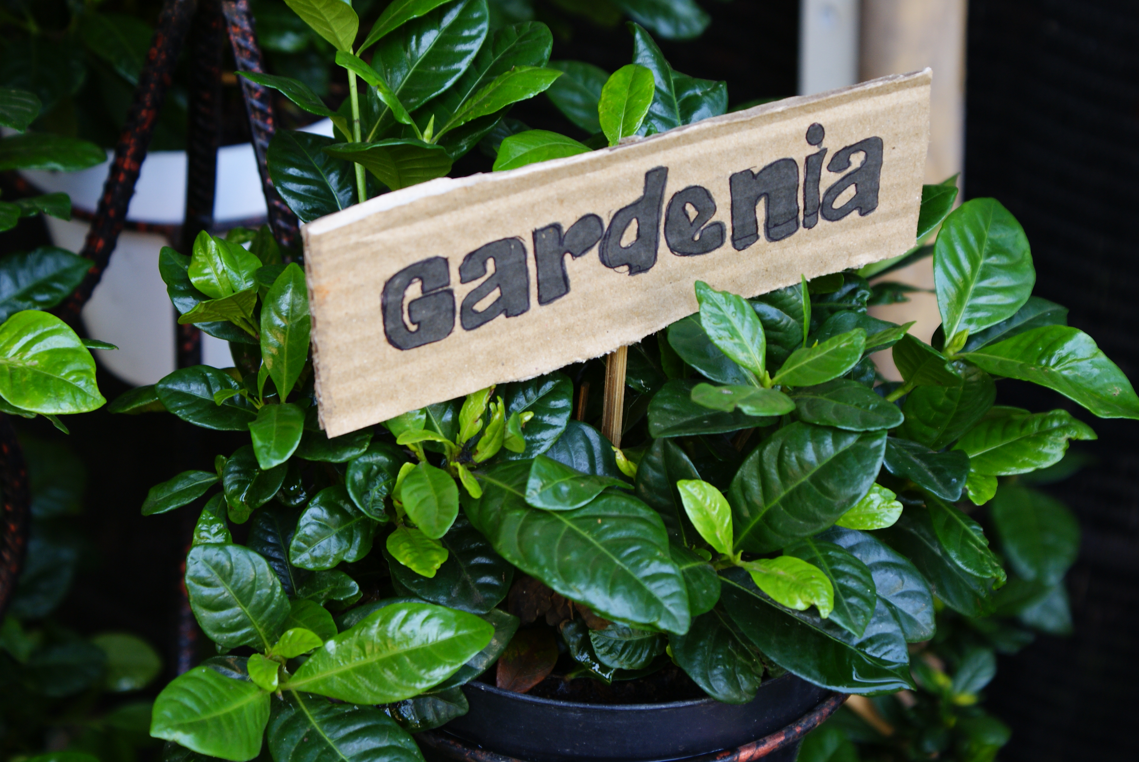 How to plant a gardenia - File Gardenia Plant Jpg