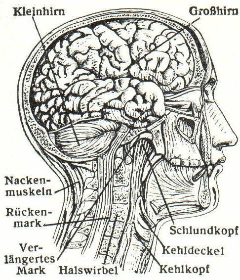 Gehirn (Meyers)