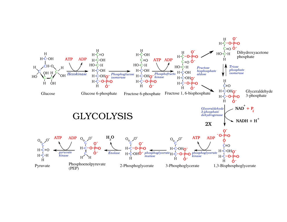 wikipedia wikiproject molecular and cell biology metabolic    printable glycolysis pathway edit
