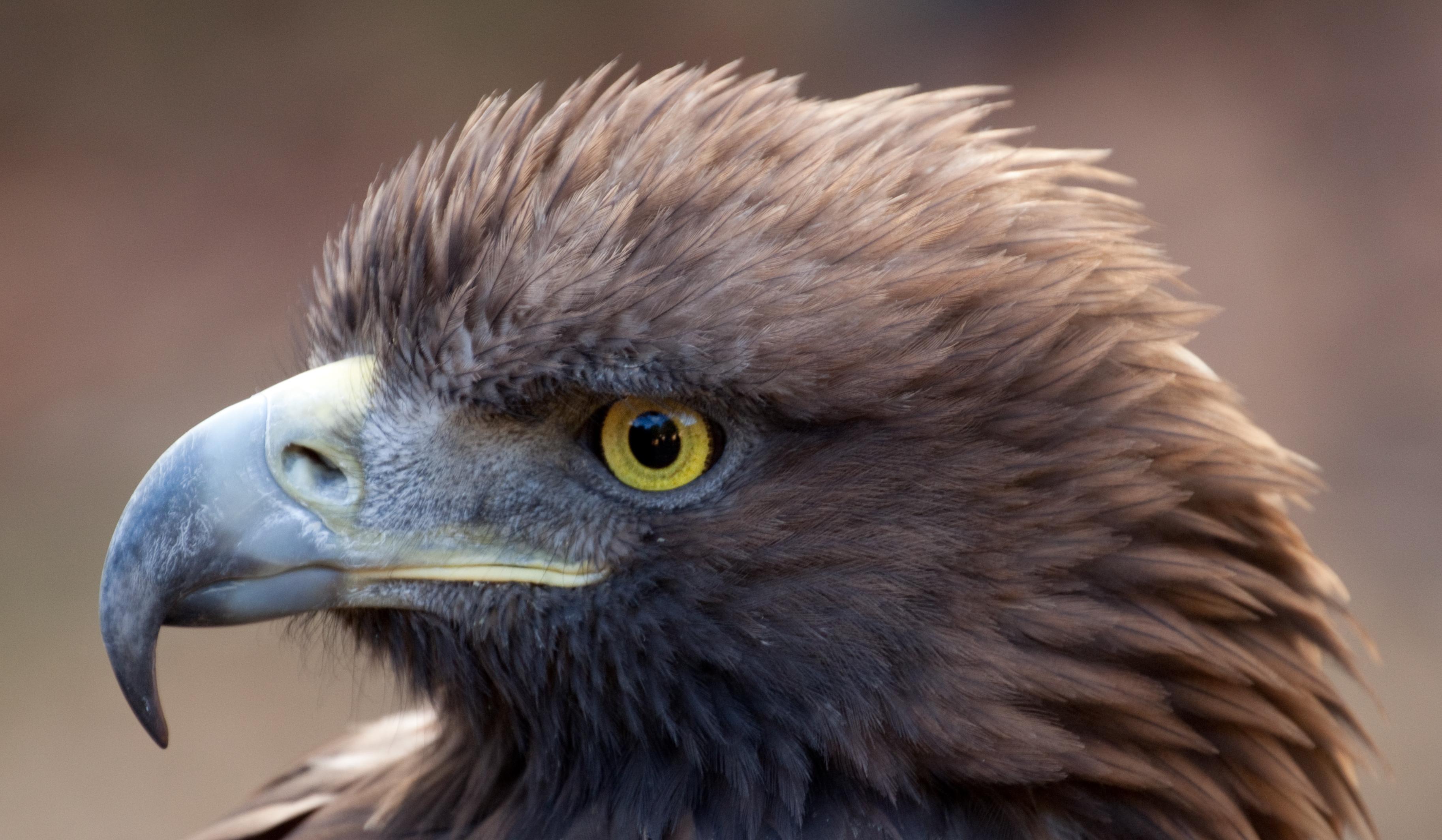 Filegolden Eagle 2c 6447282761 Jpg