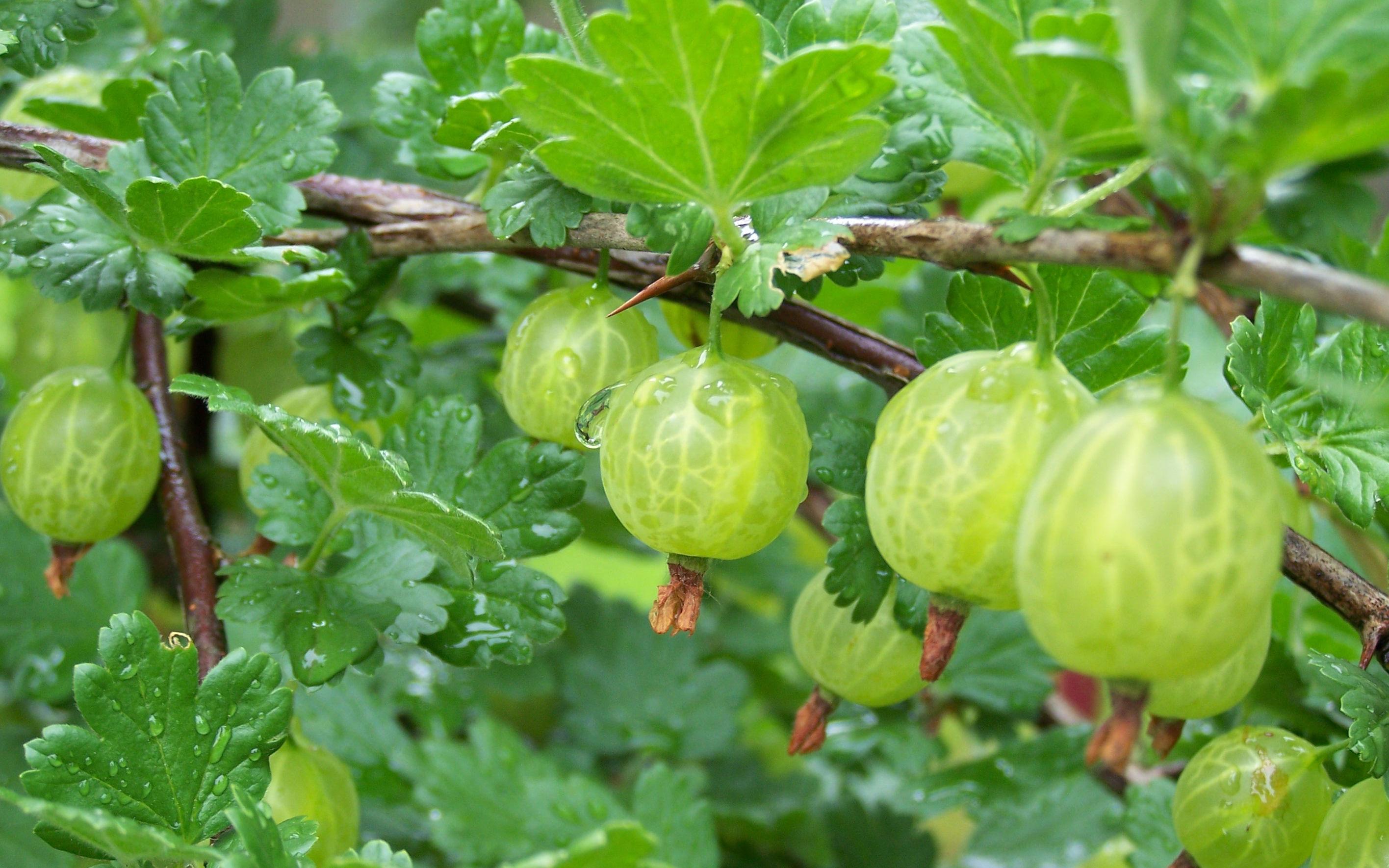 Kết quả hình ảnh cho growing gooseberries