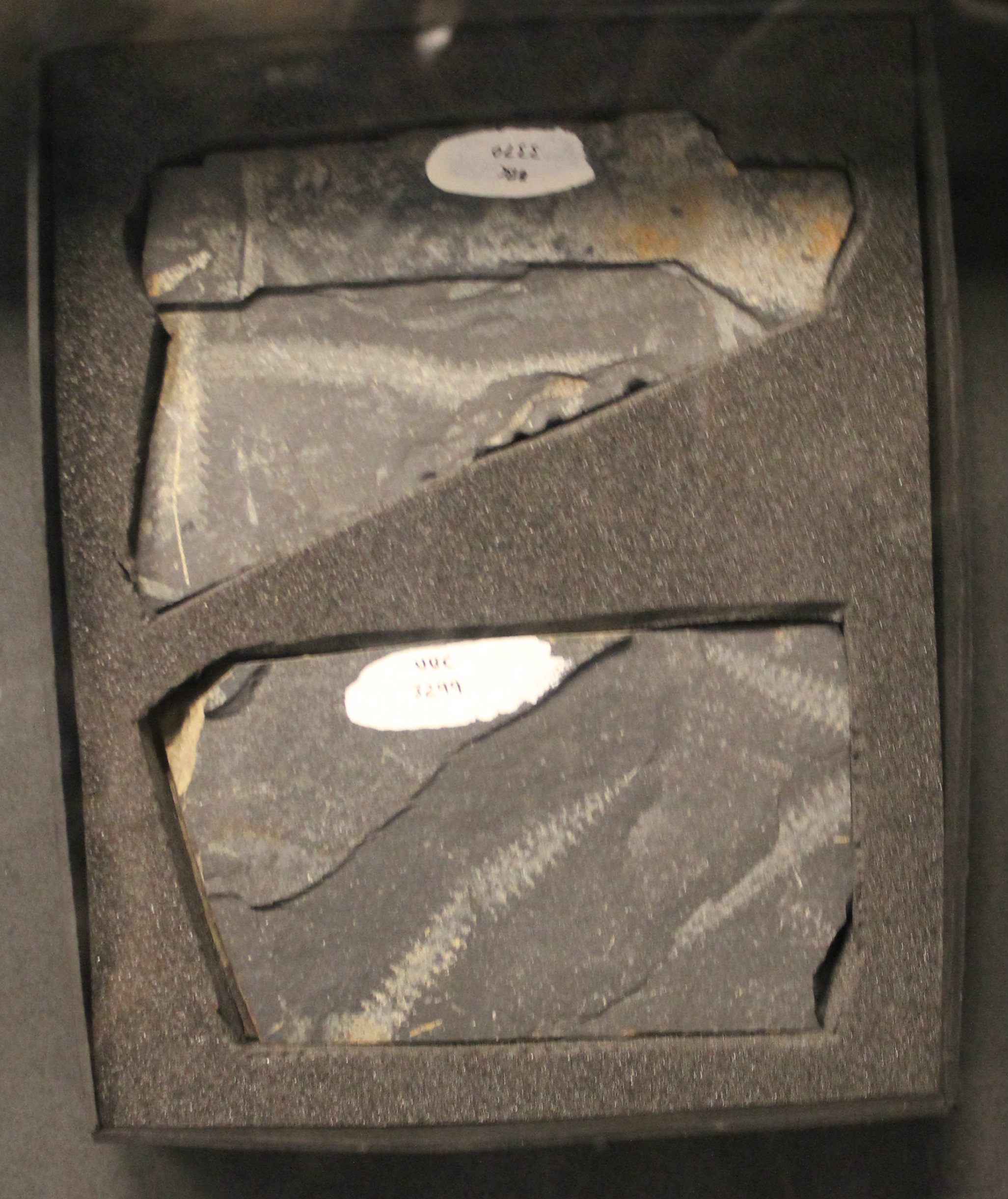 File:Graptolites.jpg