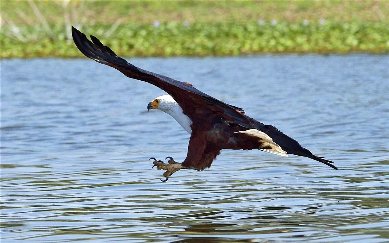 Naivasha Kenya  City pictures : Haliaeetus vocifer Lake Naivasha, Great Rift Valley, Kenya 8