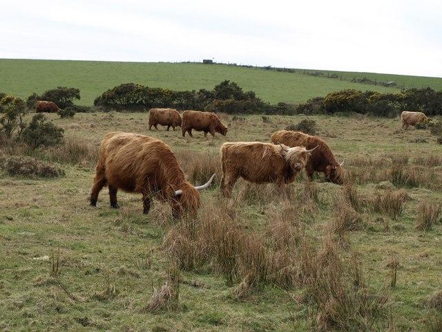 Highland cattle near Colliford Lake - geograph.org.uk - 708169