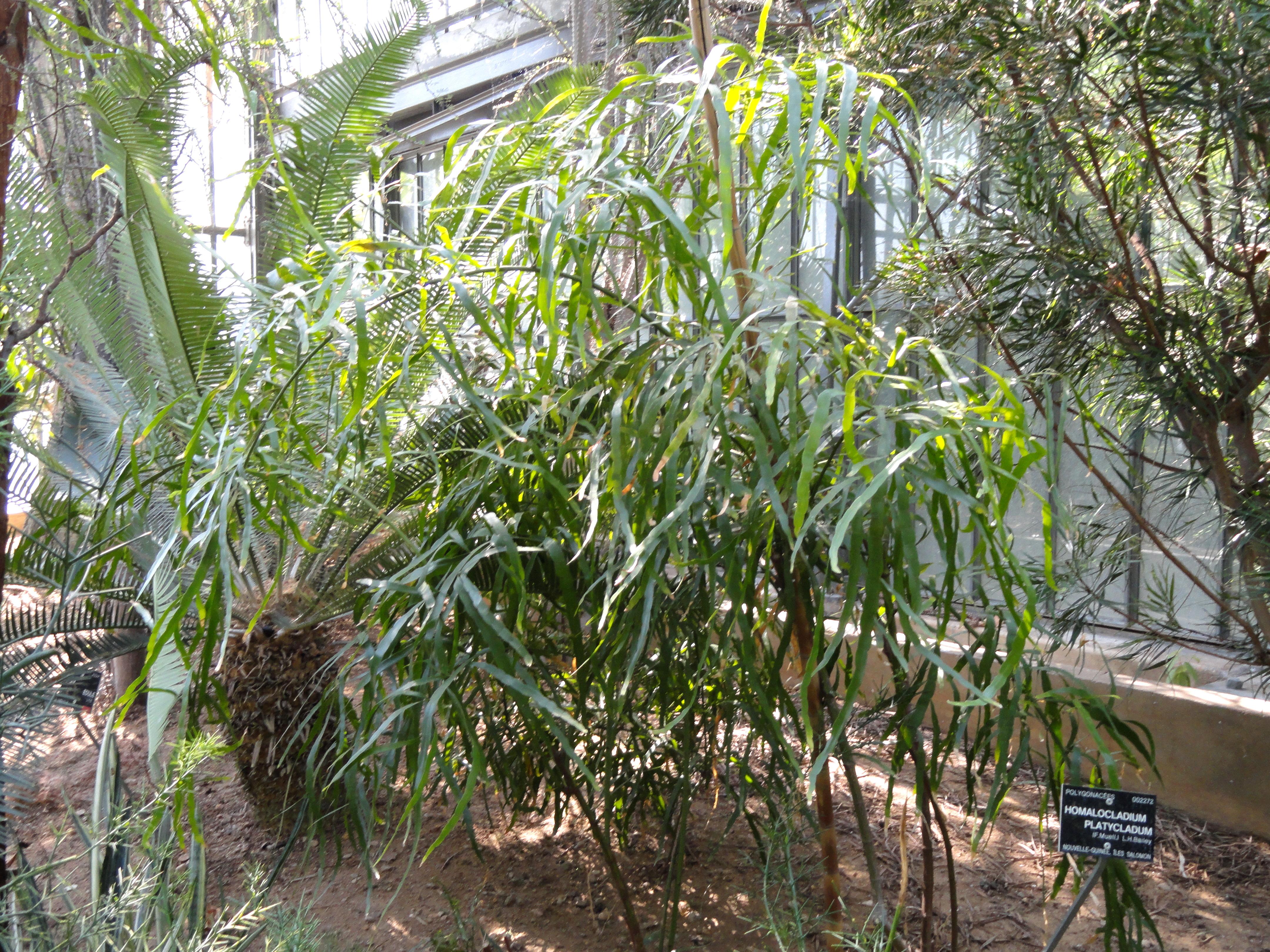 file homalocladium platycladum jardin botanique de lyon. Black Bedroom Furniture Sets. Home Design Ideas