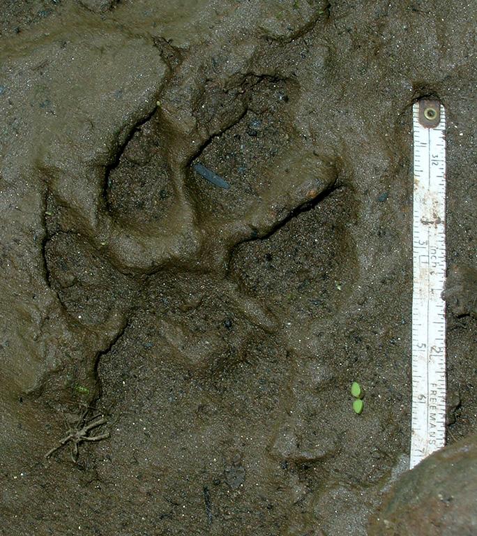 Hyaena pugmark.jpg