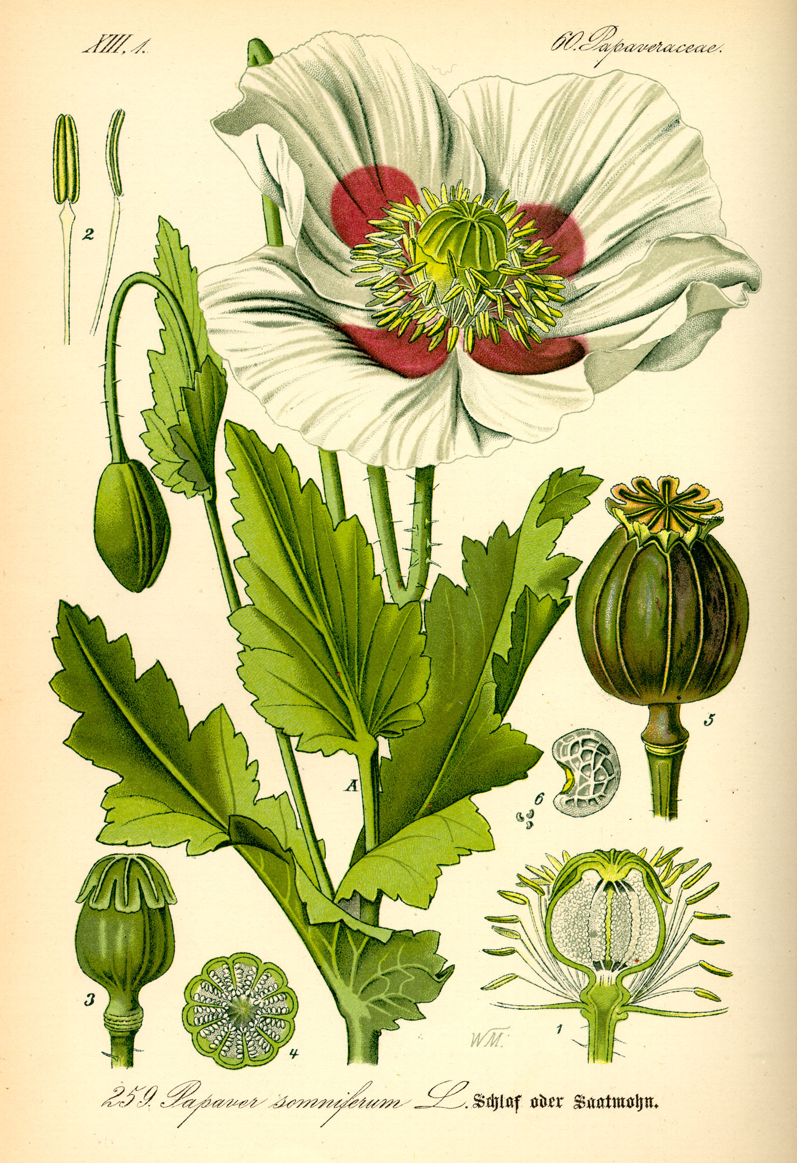 papaver somniferum opium - photo #19