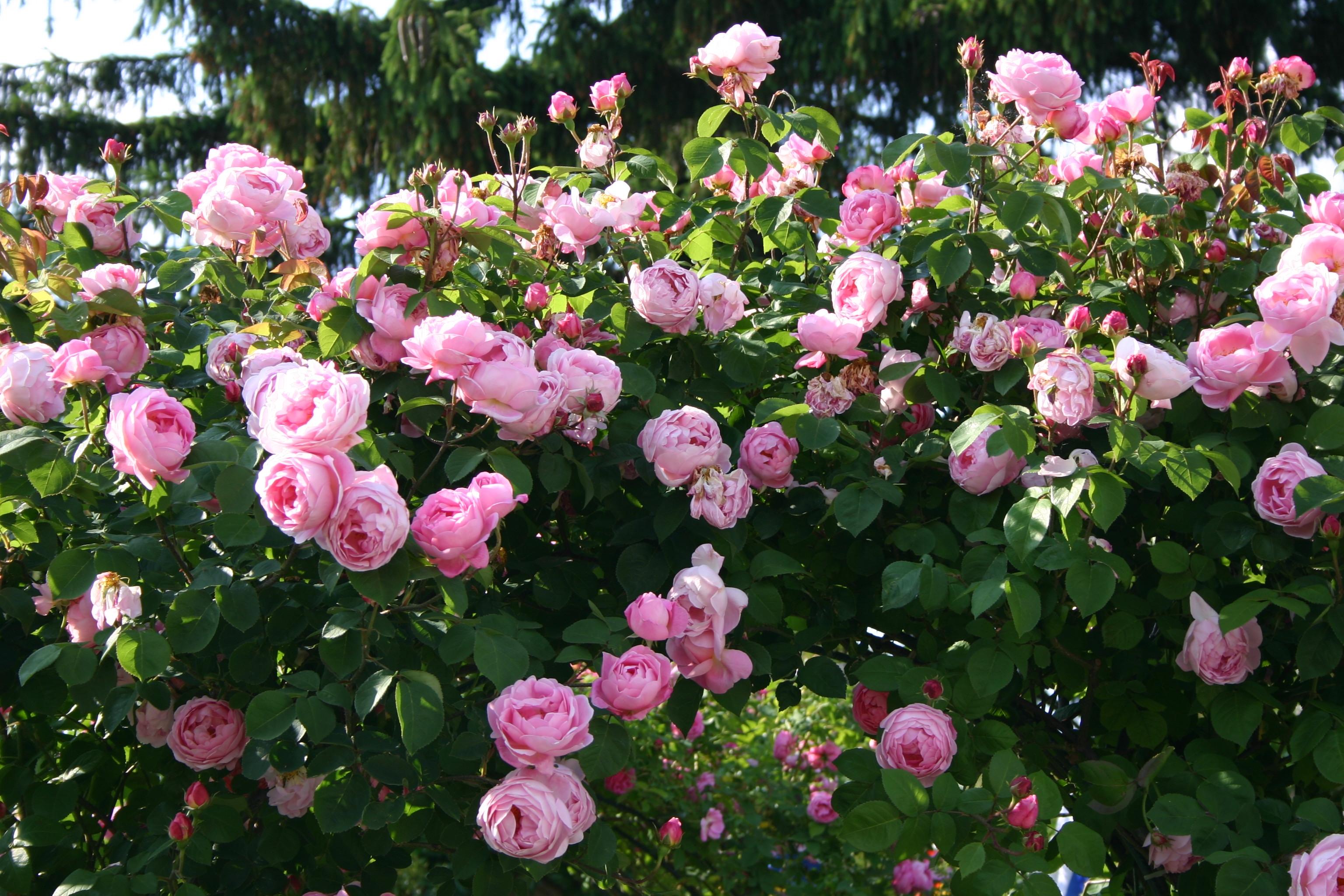 1000 images about enchanting roses on pinterest. Black Bedroom Furniture Sets. Home Design Ideas