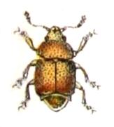 Sap Beetle