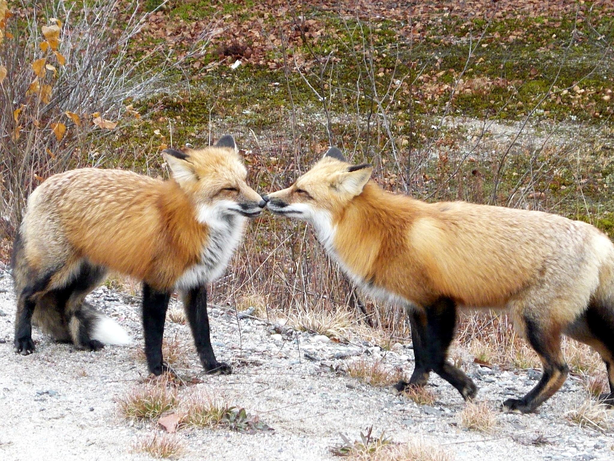 Relatos de verano: los dos zorros