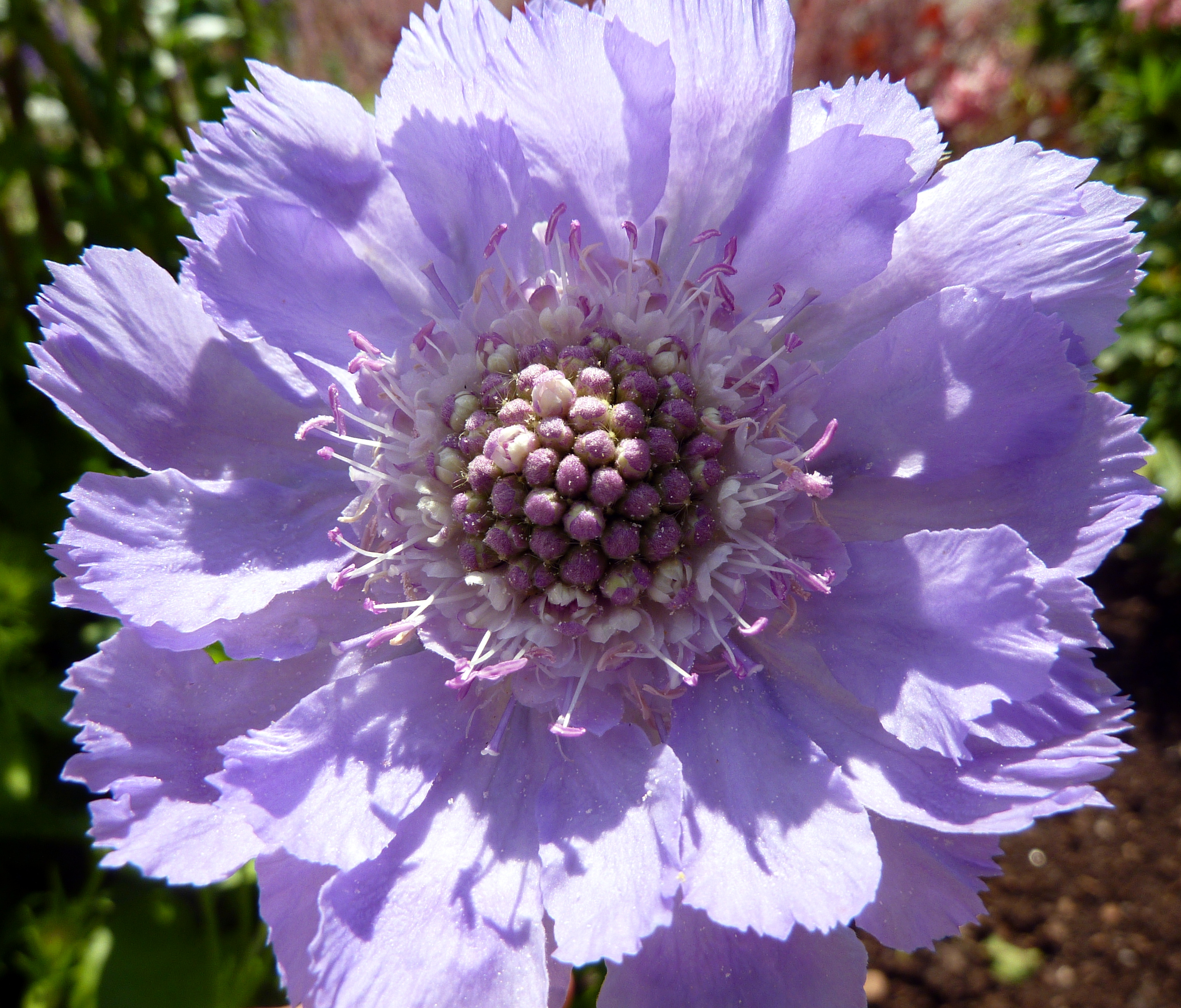 File Lilac Flower Wikimedia mons