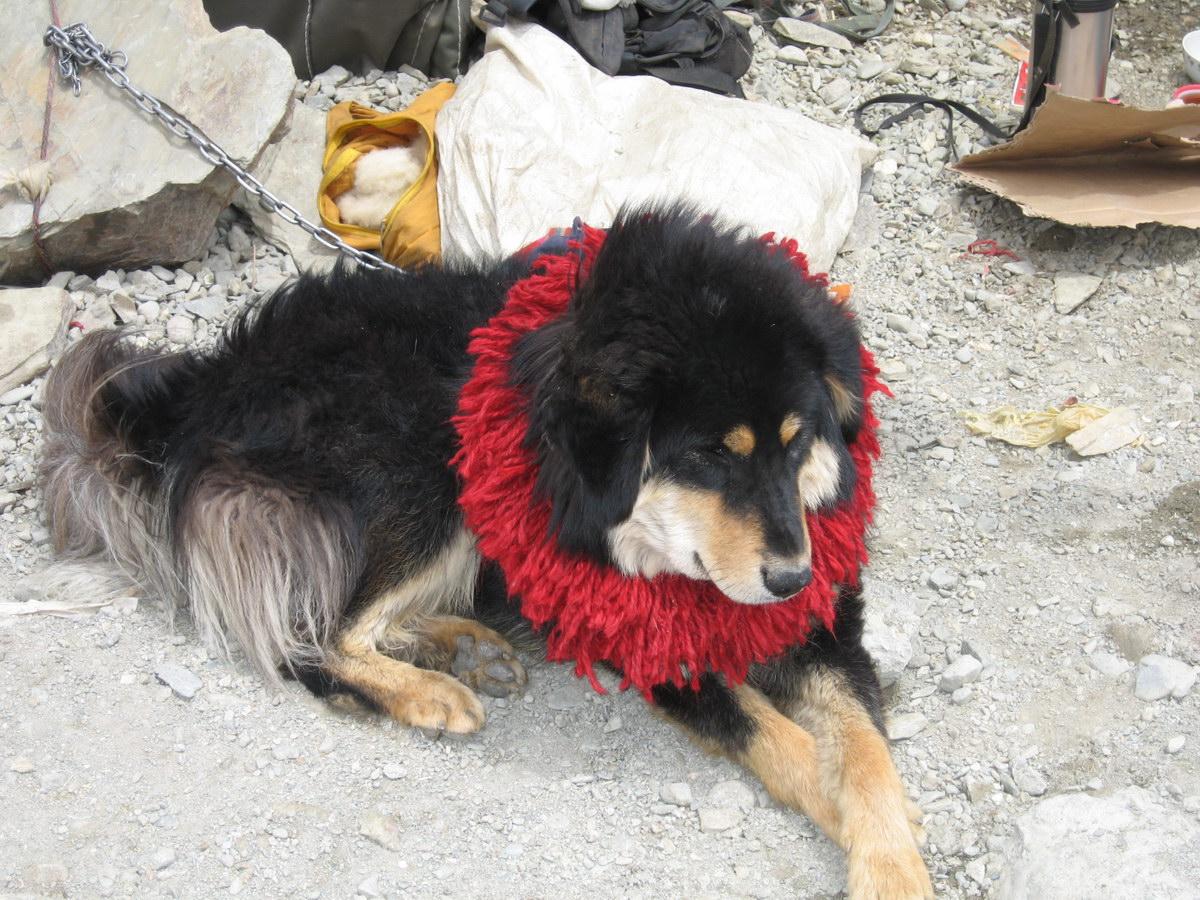 Tibetan mastiff lion head