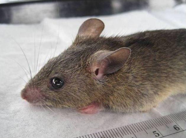 The average litter size of a Natal multimammate mouse is 5