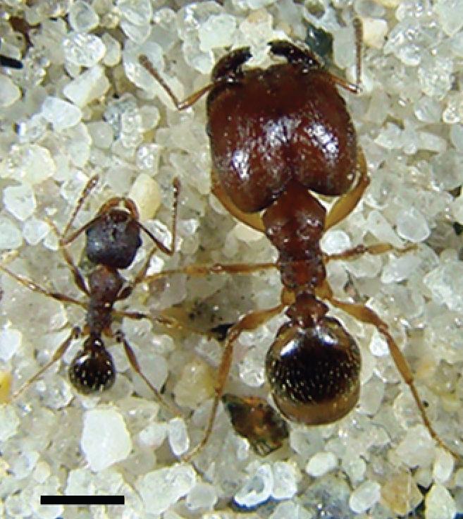 Harvester Ants File:Mature Pheidole p...