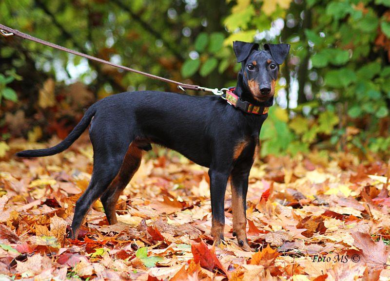 Los perros de raza Manchester Terrier pueden llegar a vivir entre 14 a 16 años