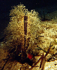 File:Pinna Nobilis.jpg