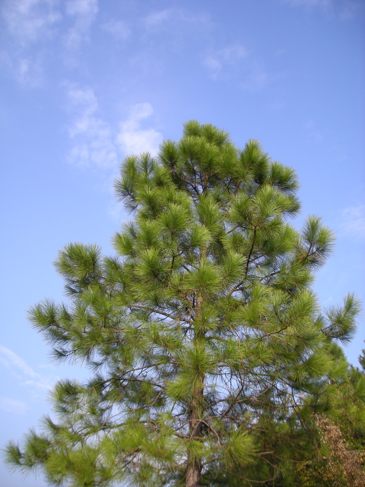 Pinus massoniana - Wikispecies