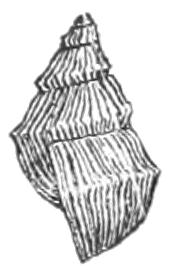 Corded purg species of mollusc