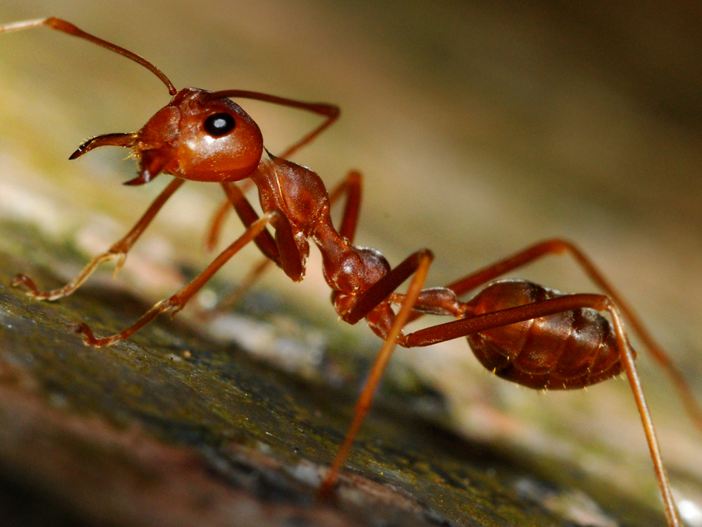 File:Red Ants (1214176165).jpg - Wikimedia Commons