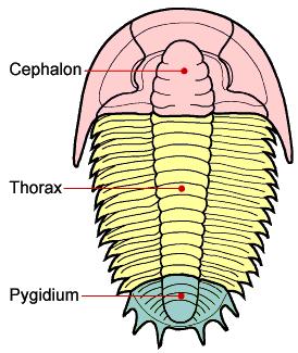三葉蟲圖片