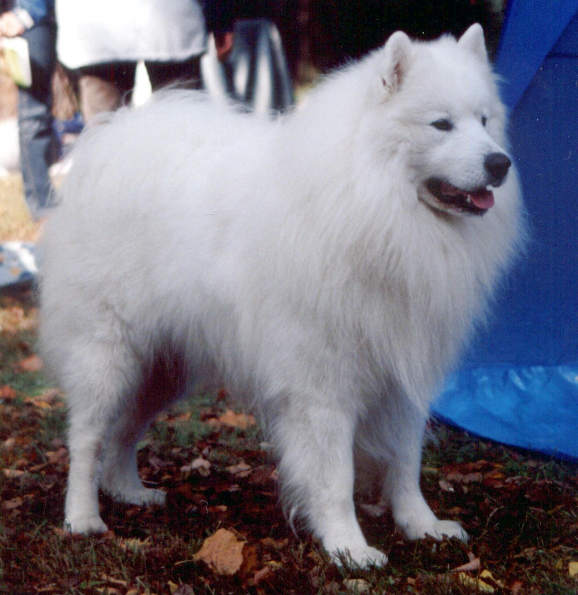 Samoyed Dog Wikipedia