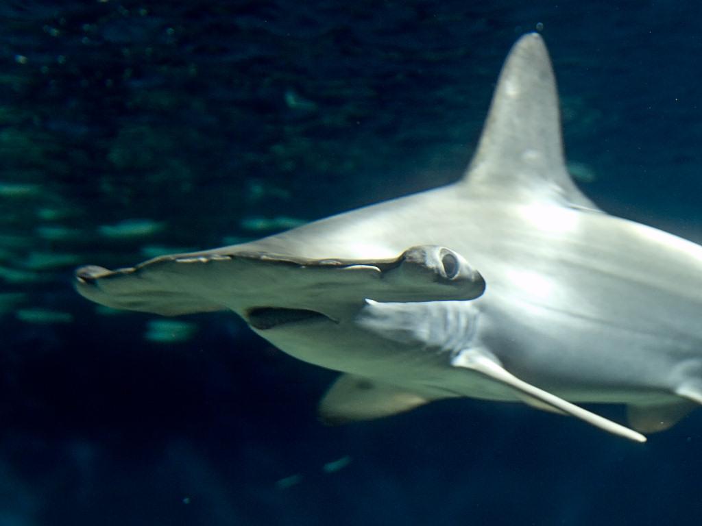 File:Sphyrna lewini aquarium.jpg - Wikimedia Commons