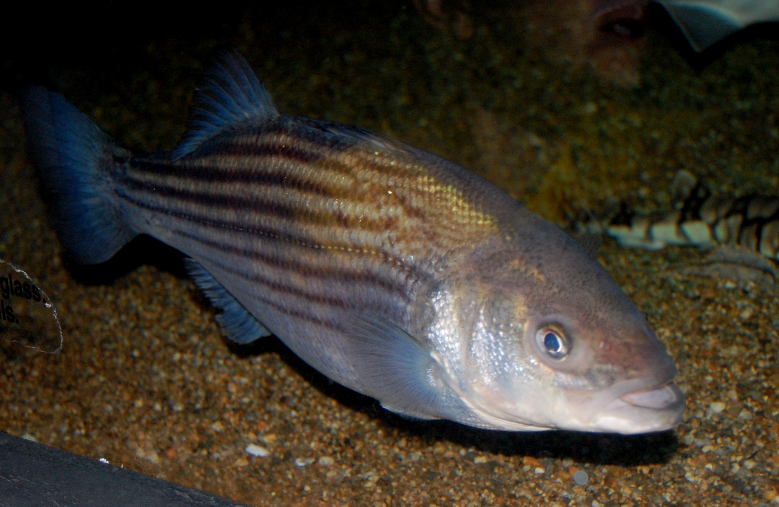 File striped bass boston aquarium jpg facts for kids for Maryland freshwater fish