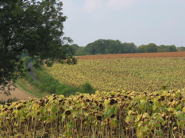 File:Sunflowers in Peak Lane, Upham - geograph.org.uk - 56411.jpg