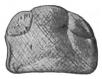 The Eurypterida of New York figure 104.jpg