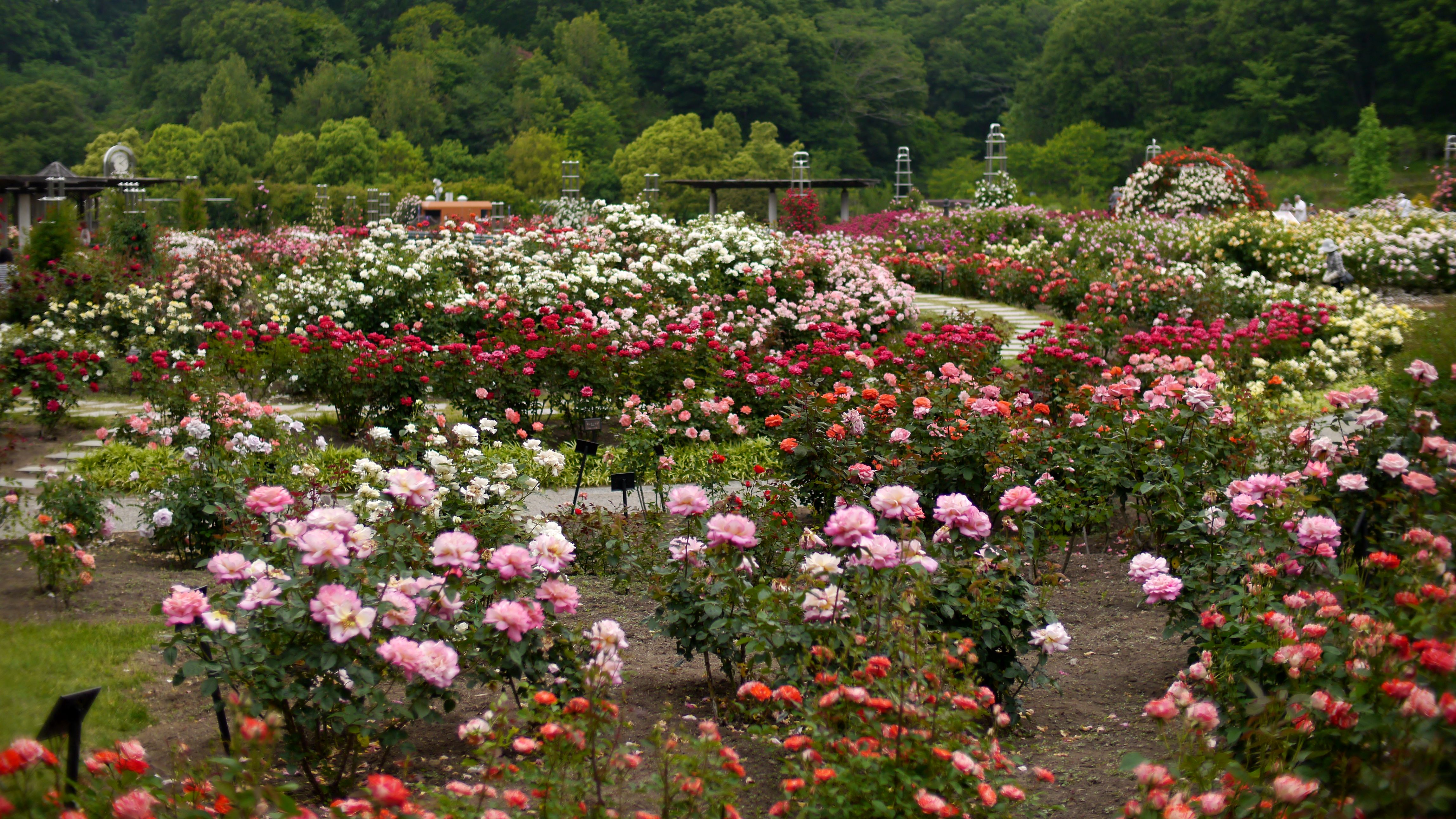 File:The rose garden of Flower festival commemorative park, 花 ...