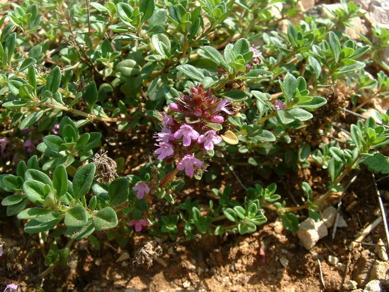 Thymus serpyllum1.jpg