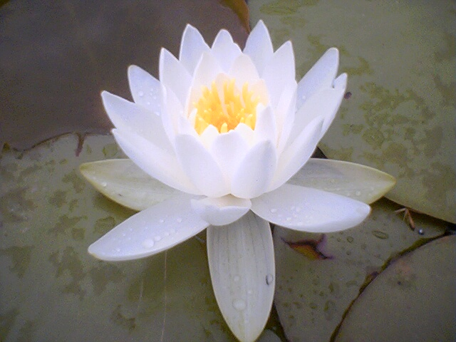 Ficheiro:Water lilly flower.jpg