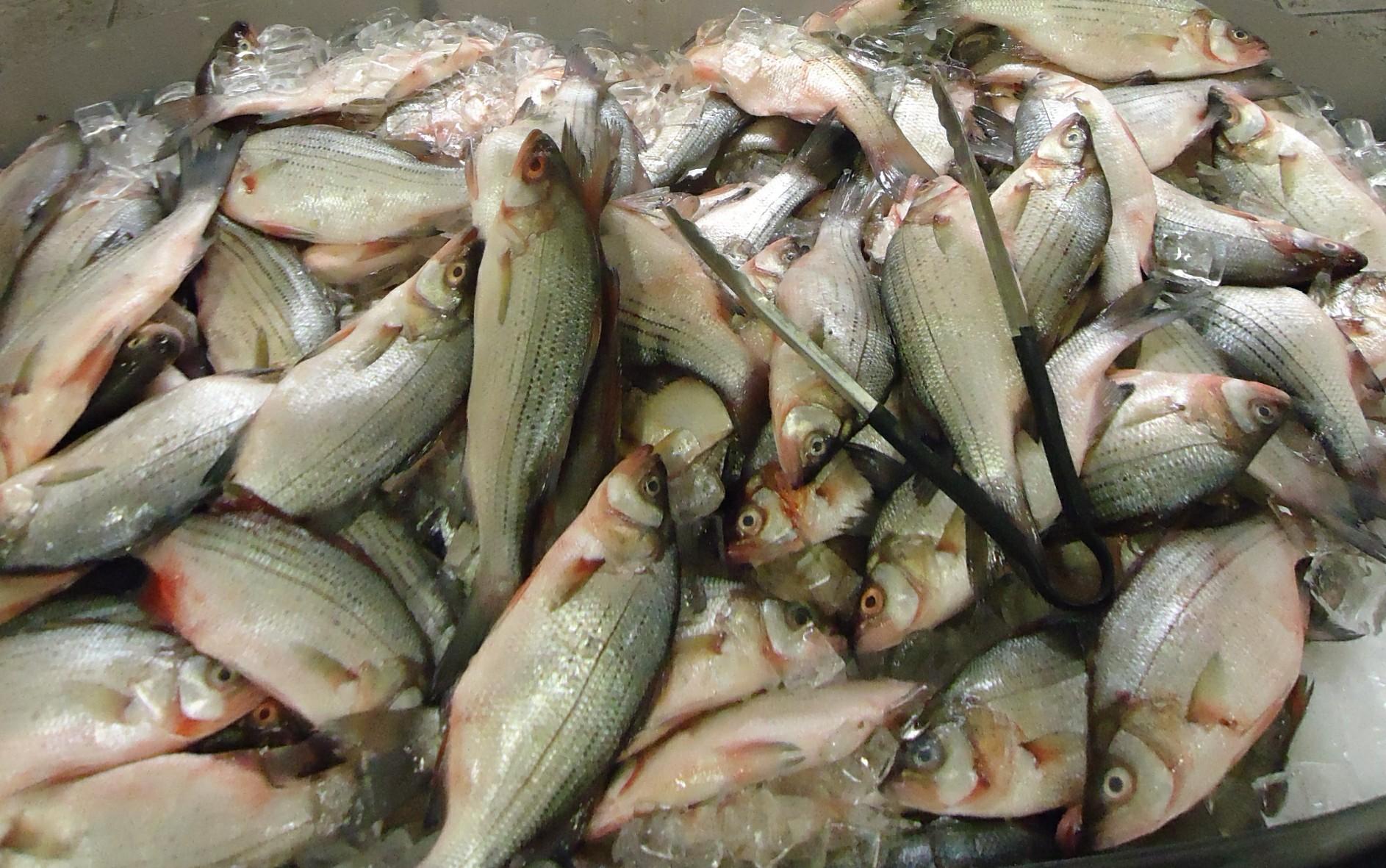 White Bass File:White Bass at Asi...