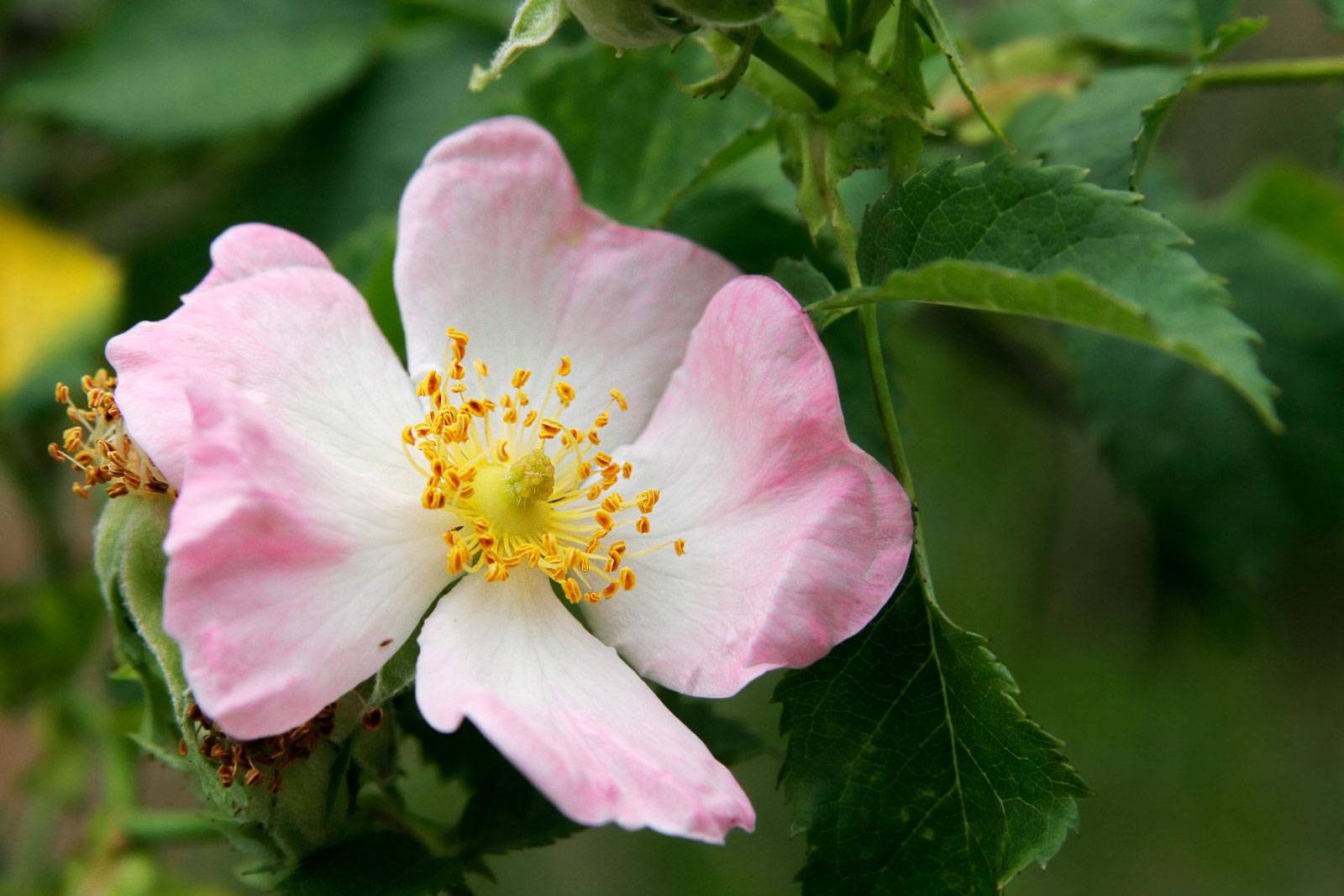 White and Pink Dog Rose Flower