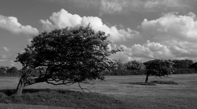 File:Windy Trees - geograph.org.uk - 323532.jpg