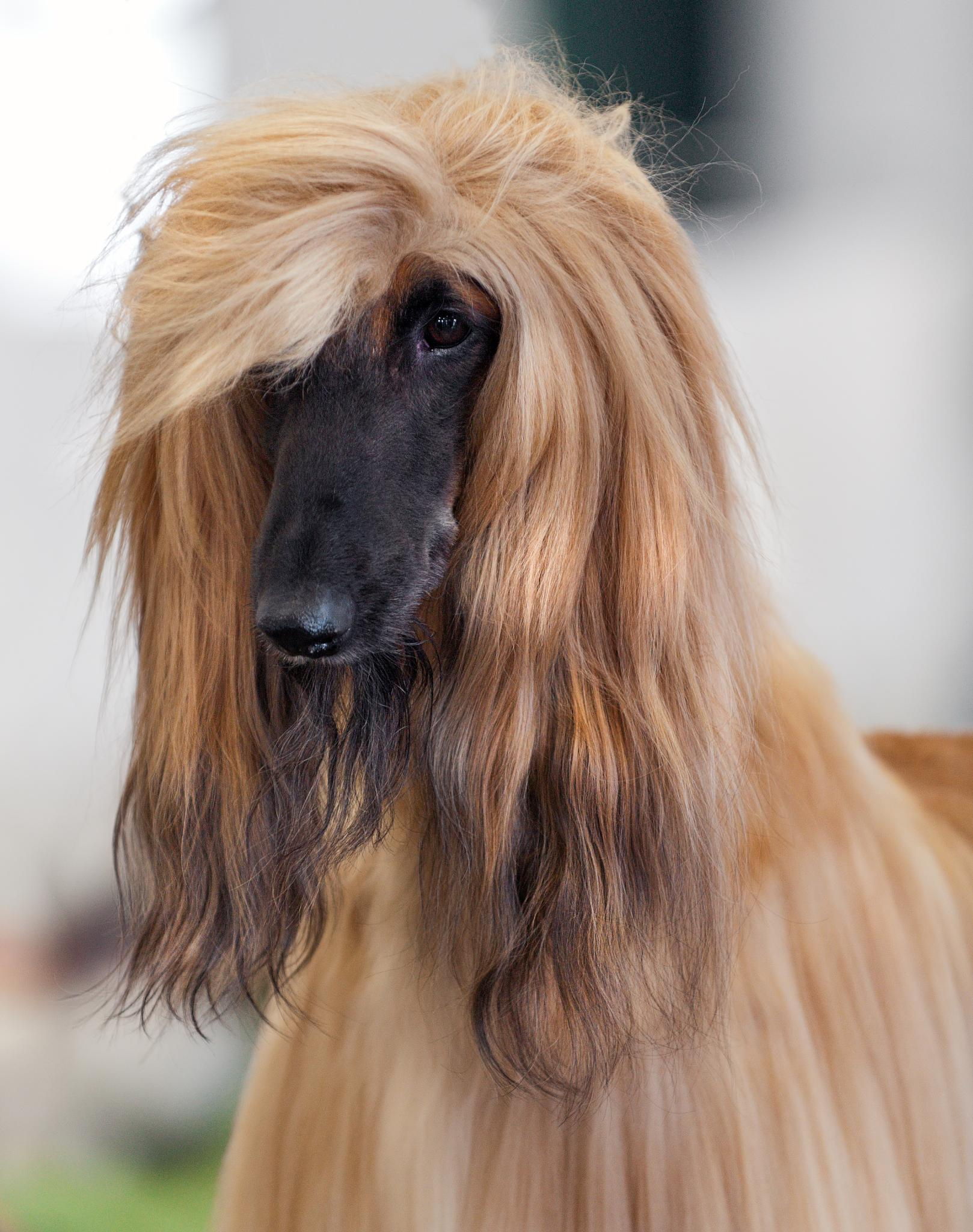 File:111 AKC Afghan Hound Dog Show 2011.jpg  Wikimedia Commons