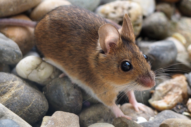 Mäuseartige Wikipedia