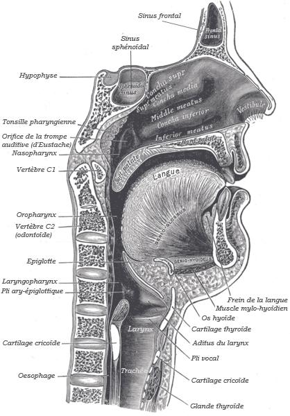 Anatomie Bouche fichier:anatomie bouche — wikipédia