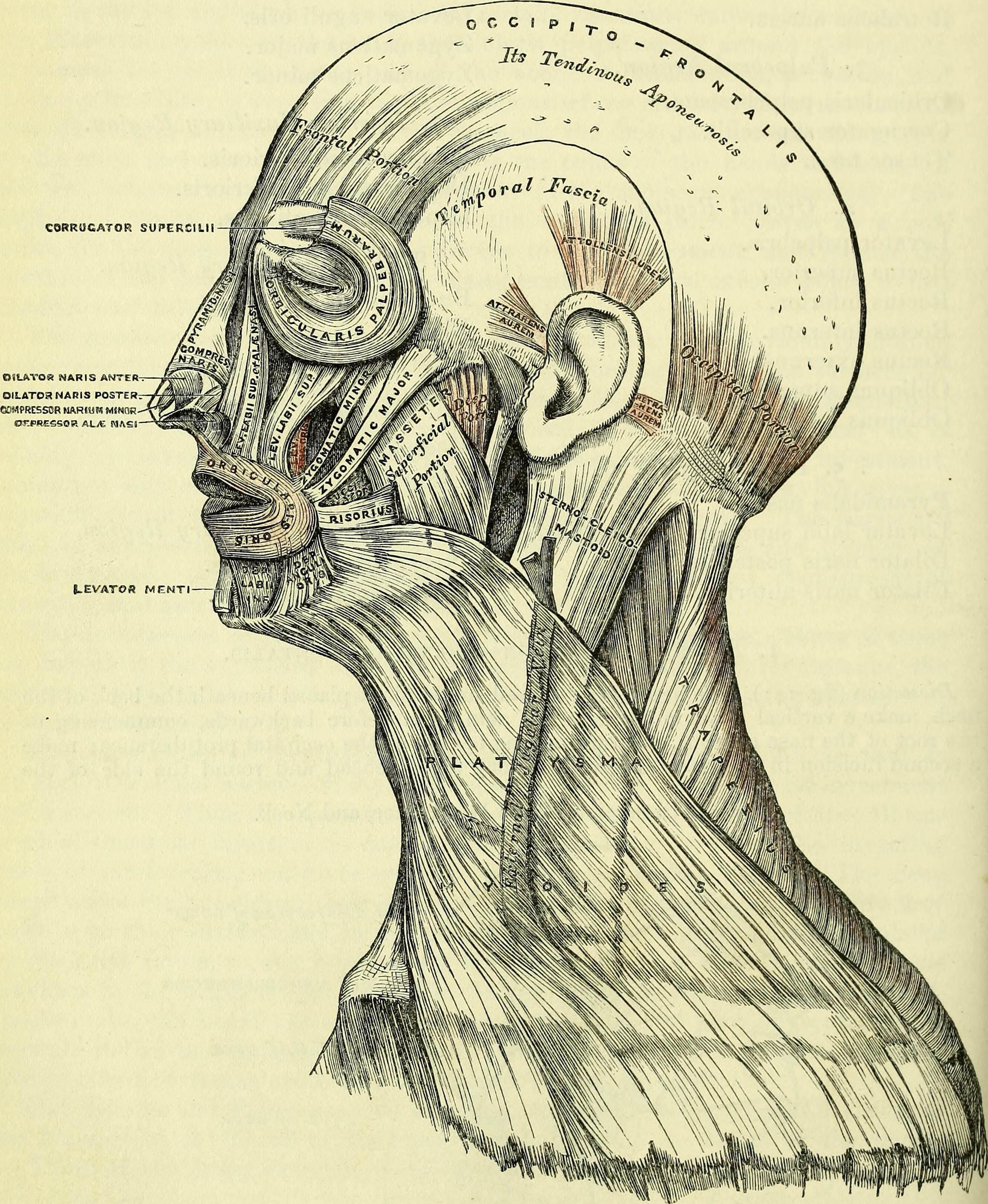 Fileanatomy Descriptive And Surgical Electronic Resource 1860