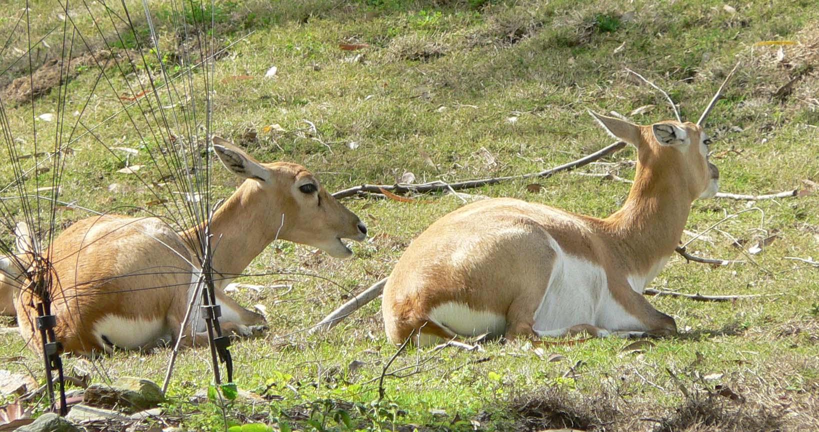 Antilope cervicapra1.jpg
