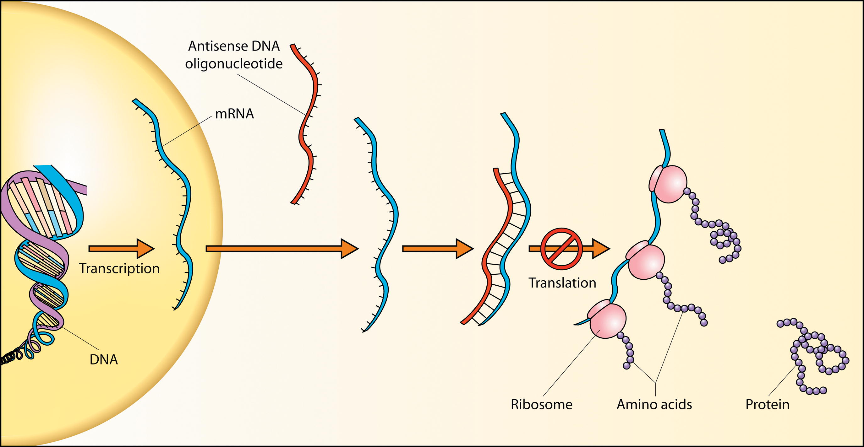 File:Antisense DNA oligonucleotide.png - Wikipedia, the free ...