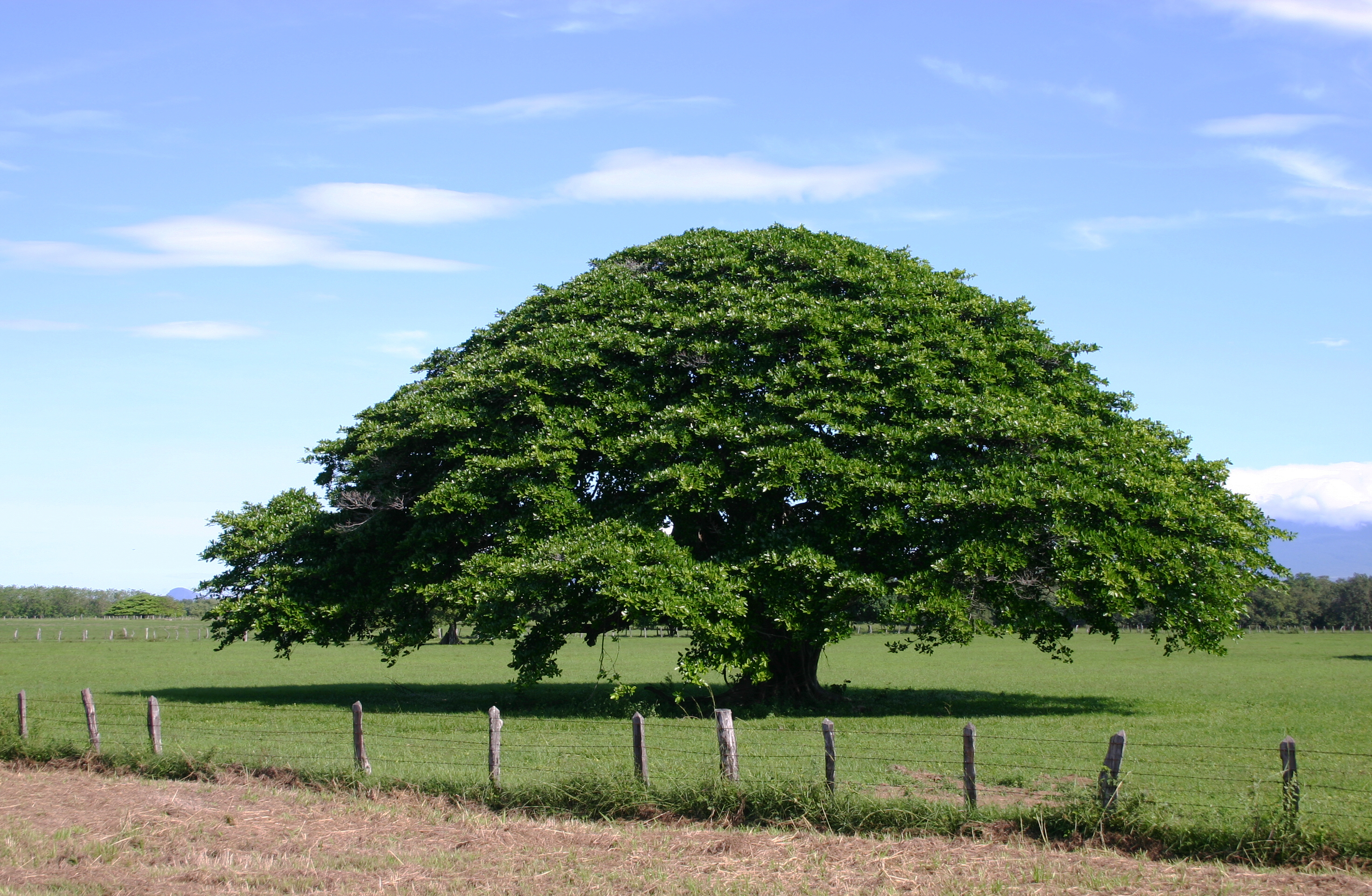 File arbol de guanacaste 1 2 jpg wikimedia commons for Arboles que dan sombra para jardin