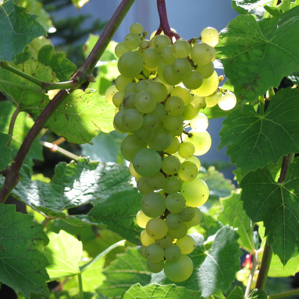 Aurore (grape) - Wikipedia