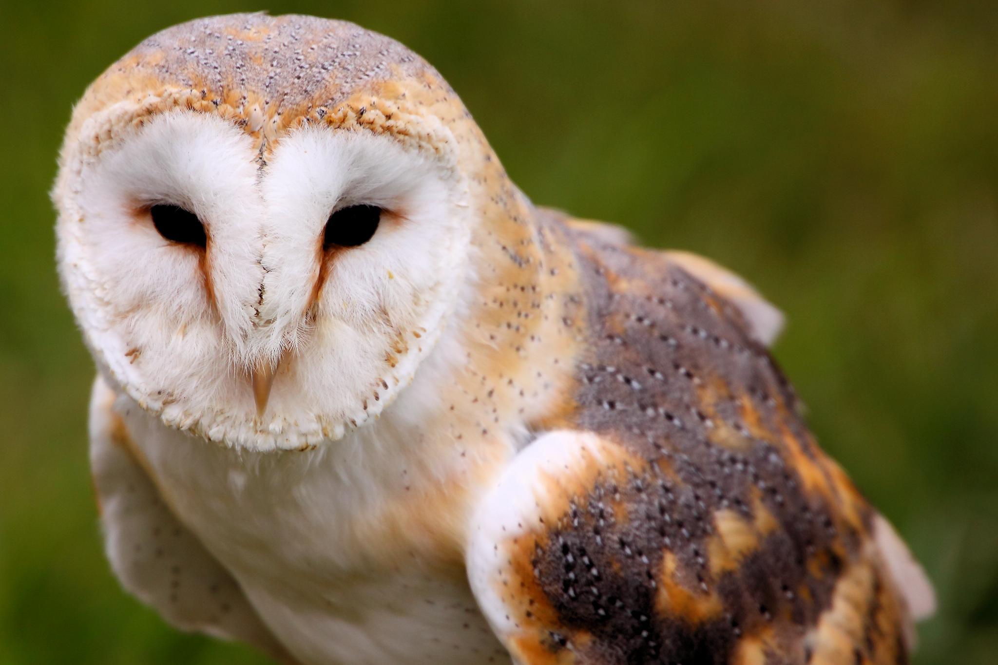 barn owls - photo #29