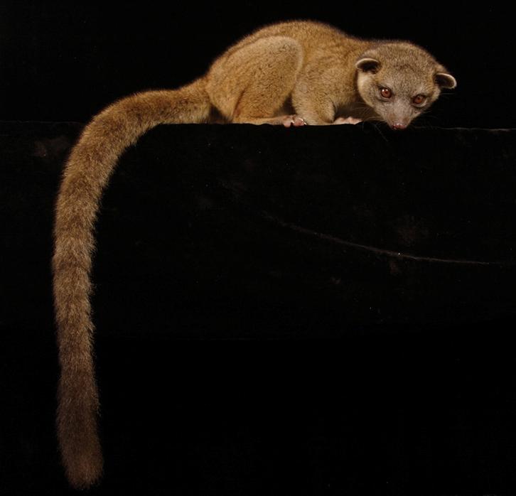 olingo newly discovered carnivore