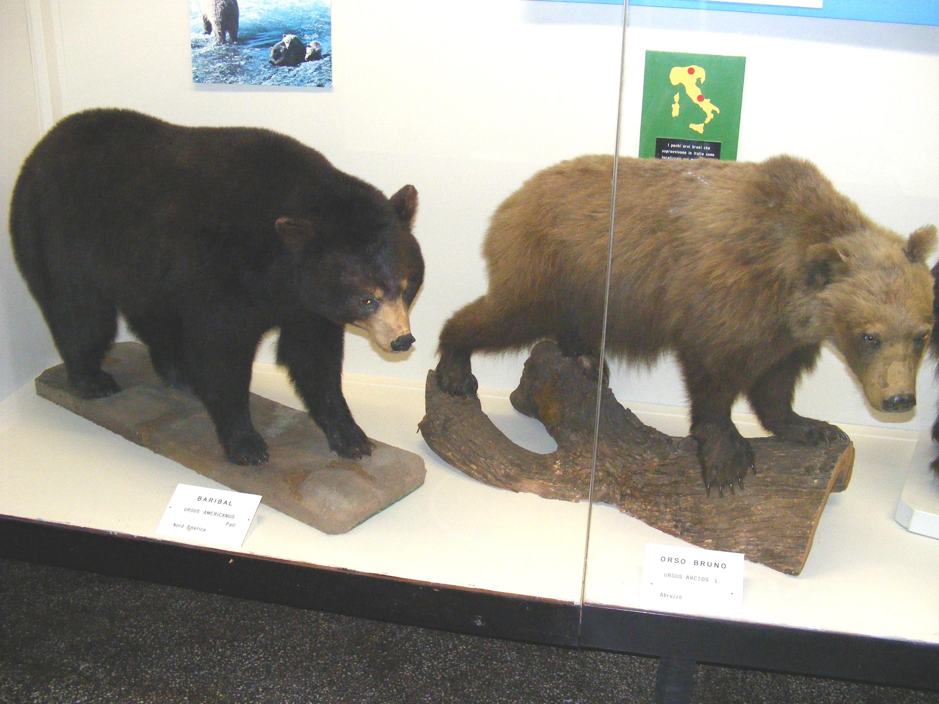 Black Bear - Yellowstone Country Bear Hunters