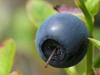 blueberry all the tropes wiki wikia