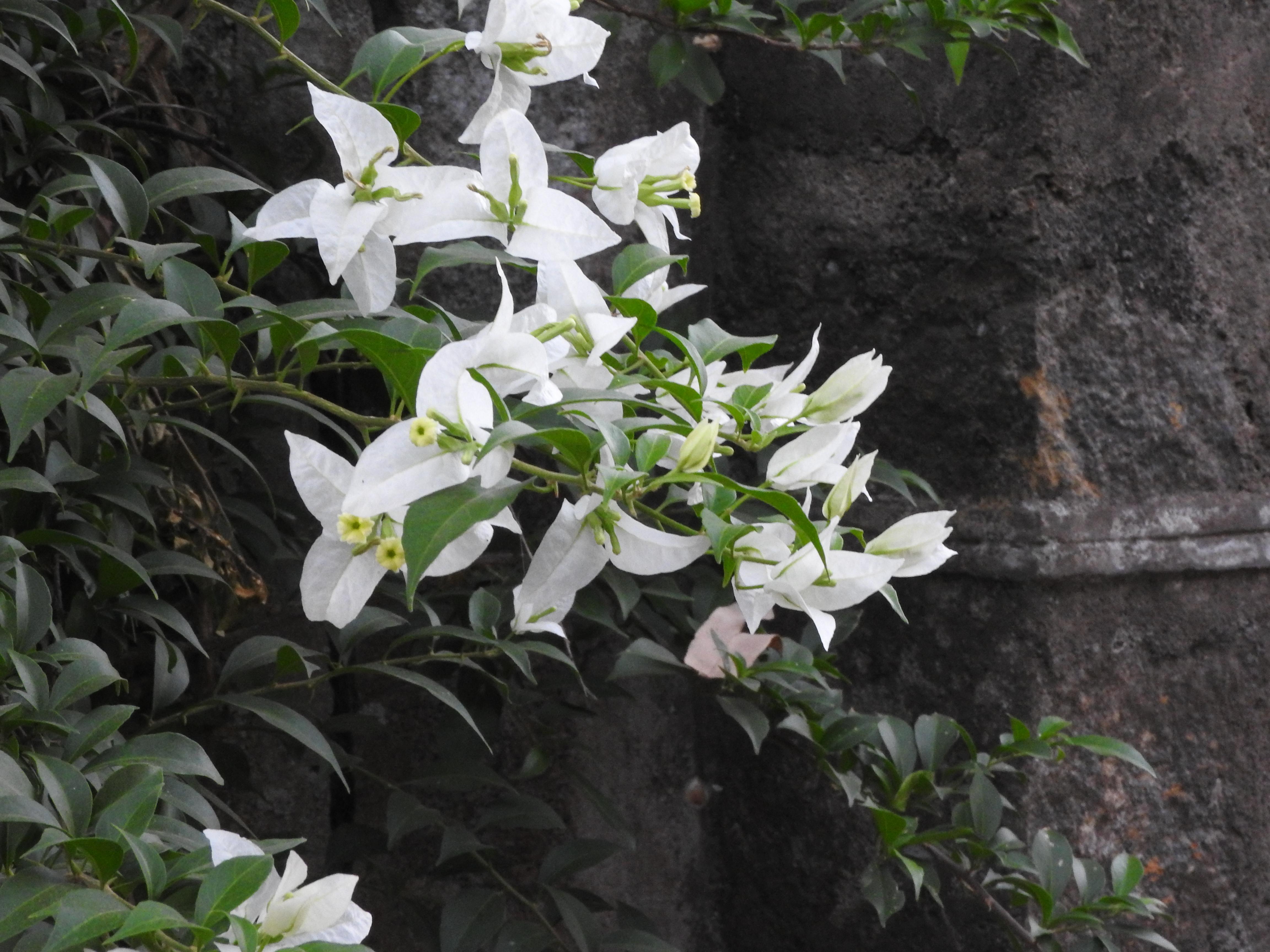 Avversità Delle Piante Coltivate bougainvillea - wikipedia